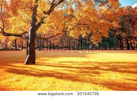 Autumn landscape. Sunny autumn view of autumn park with golden autumn foliage in sunny weather. Sunny autumn landscape scene with spreading autumn maple tree in autumn park
