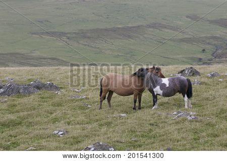 Dartmoor Ponies on Dartmoor National Park in Devon