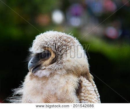 Owl Bird Of Prey Against Blurred Background Close-up