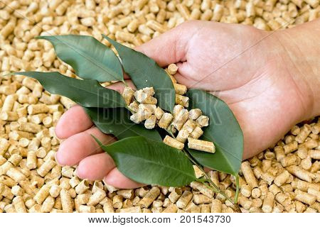 Biofuels . Wood pellets made of pressed sawdust and green leaves in his hand .