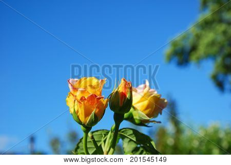 Beautiful Peace roses close up by a blue sky
