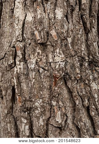 Bark Backgrounds. Bark Of Pine Tree Texture In The Park. Vertical Composition Of Detailed Tree Bark
