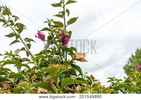 bougainvillea glabra nyctaginaceae flower plant from brasil with sky poster