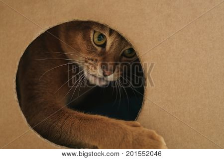 young abyssinian cat playing inside cardboard house from box, 8 month kitten