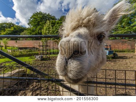Portrait of a white lama at Heaton Park in Manchester