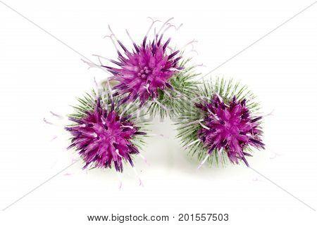 Burdock flower isolated on white background. Medicinal plant: Arctium .