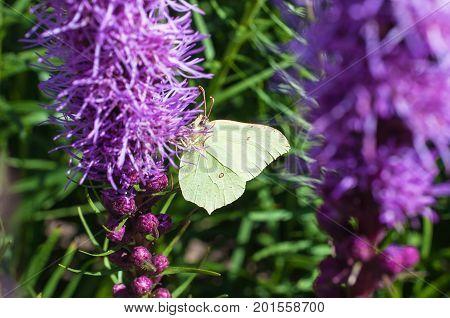 Brimstone butterfly on a purple lavender flower