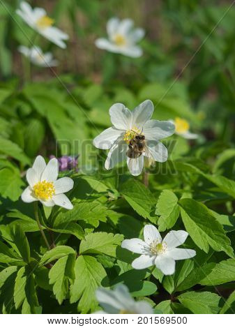 Spring forest in Litovelske pomoravi with blooming Anemone nemorosa flowers and honeybee Czech Repbublic