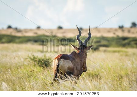Red Hartebeest In The Grass From Behind.