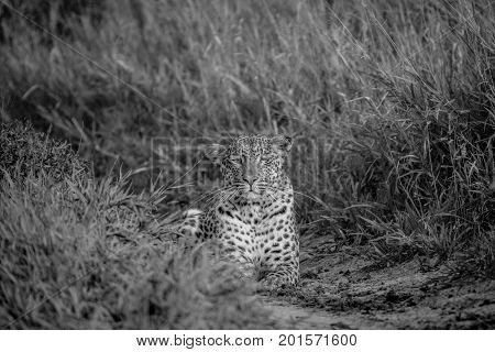 Leopard Stalking Towards The Camera.