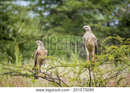 Two Pale-chanting Goshawks Sitting On A Branch.