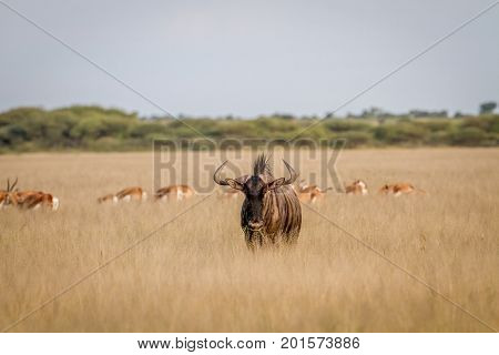 Blue Wildebeest With Springboks In The Background.