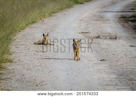 Two Black-backed Jackals On The Road.