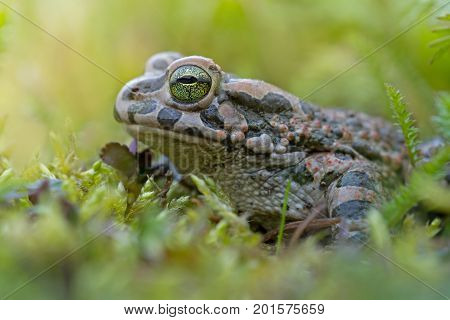 Green frog in grass in autumn with big green eyes