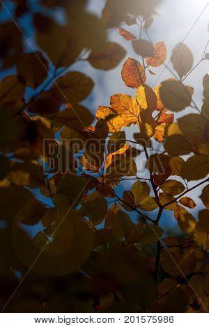 Amazing golden sunlight on yellow autumn leaves of beech tree