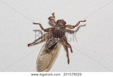 Lipoptena cervi (moose louse) extreme closeup shot