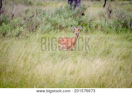Female Impala Standing In The Grass.