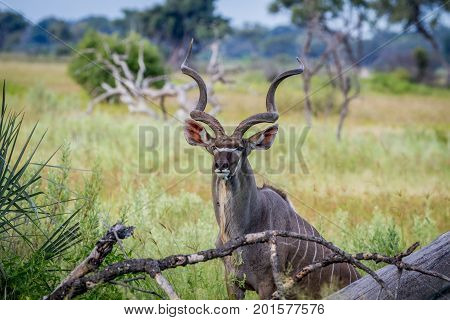 Kudu Bull In Between High Grasses.