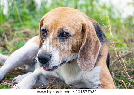 Portrait of a dog of the Beagle breed