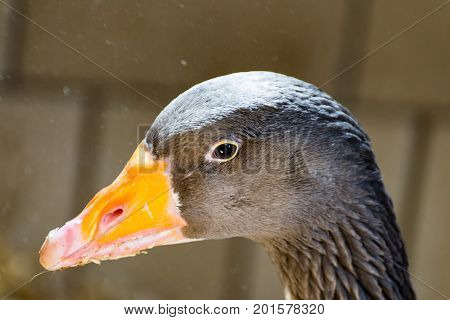A Gray goose with feathers in its beak