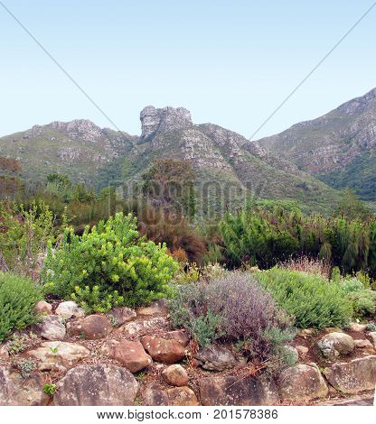 FROM CAPE TOWN, SOUTH AFRICA,  THE KIRSTENBOSCH NATIONAL BOTANICAL GARDENS, NESTLED AT THE FOOT OF TABLE MOUNTAIN 38hj