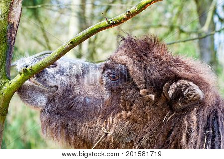 The Camel in profile nibbling the bark of a tree