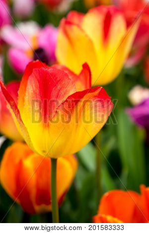 Colourful Tulip Flowers With Beautiful Background On A Bright Summer Day, Yellow And Red Tulip