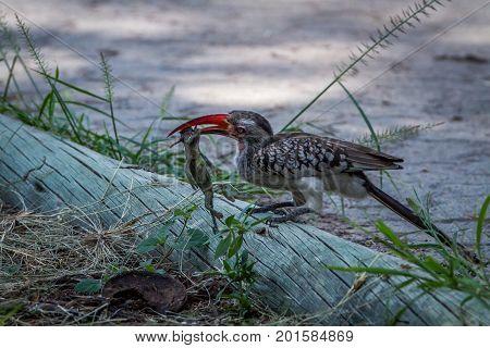 Red-billed Hornbill Eating A Frog.