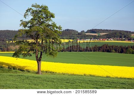 Field of rapeseed canola or colza in latin Brassica Napus and lime treerape seed is plant for green energy and green industry springtime golden flowering field
