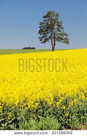 Field of rapeseed canola or colza in latin Brassica Napus and lime tree rape seed is plant for green energy and green industry springtime golden flowering field