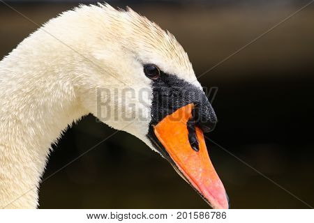 An elegant adult Mute swan with bright orange beak