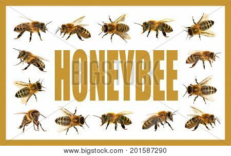 group of bee or honeybee in Latin Apis Mellifera european or western honey bee isolated on the white background golden honeybees