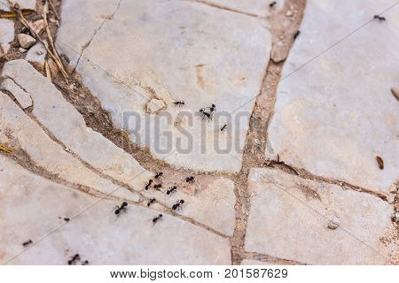 formicidae ant insect trail collecting food for colony on white stones in mediterranean nature