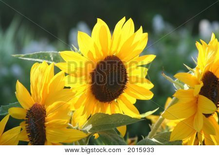 Shiny Happy Sunflowers