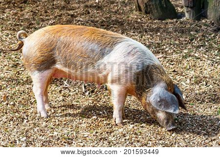 The Adult domestic pig is looking for something to eat on the ground