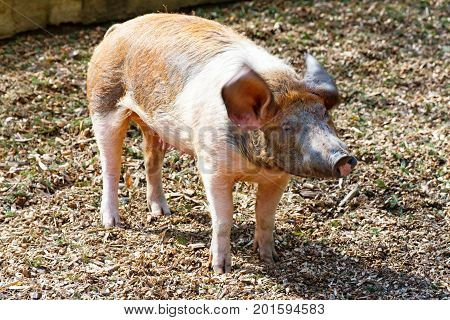 The Adult domestic pig is shaking his head