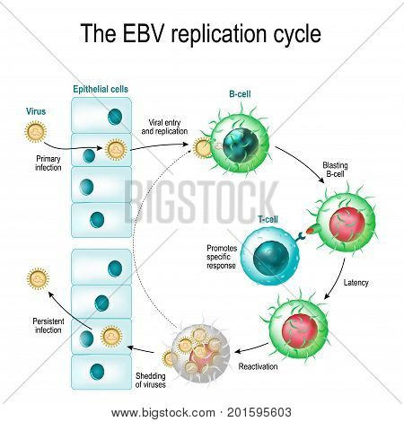 The Epstein-Barr virus (EBV) replication cycle (Entry to the cell latency and reactivation). human herpesvirus. the cause of infectious mononucleosis and cancer. poster