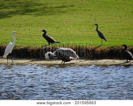 Pelicans, Herons, Ibis, And Cormorants
