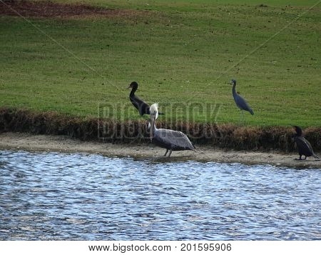 Birds Wading In The Swamps Of The Everglades In Florida
