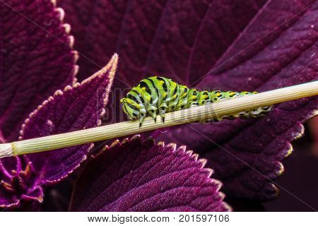 The caterpillar of the swallowtail butterfly. This larva is green and yellow striped with black spots. It is 2 inches long
