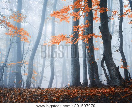 Amazing Scene With Autumn Trees In Fog. Autumn Forest