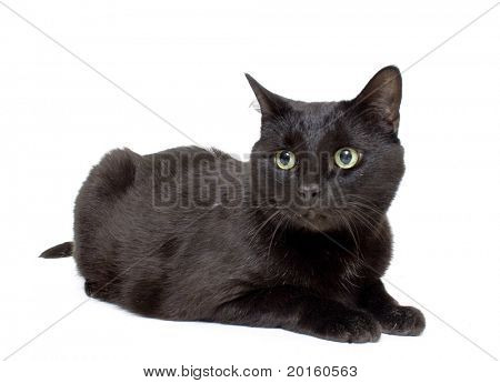 silky beautiful black  cat isolated on white background