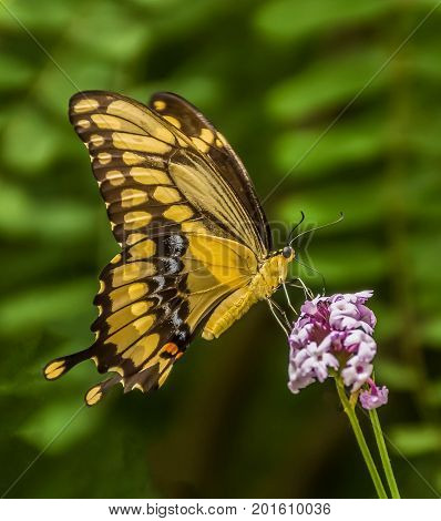 Yellow and Brown Swallowtail Butterfly on flower