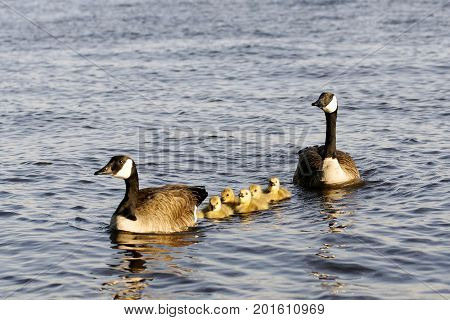 A pair of Canadian geese with their sprintime goslings