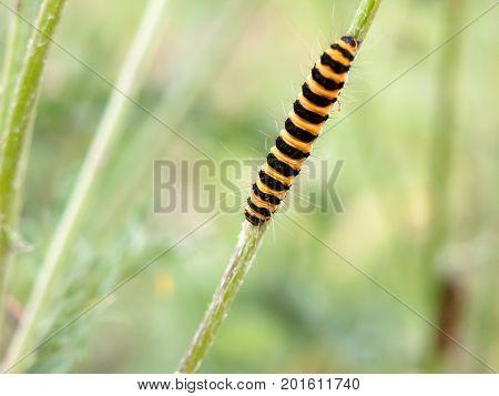 Single Yellow And Black Caterpillar Crawling Down Green Stem