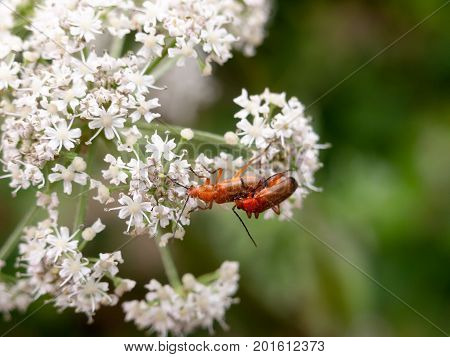 Two Red Soldier Beetles On White Cow Parsley Flowers Close Up
