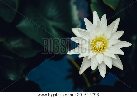 beautiful lotus flower is complimented by the rich colors of the deep blue water surface. top view