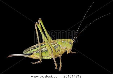 A close up of the grasshopper doe. Isolated on black.