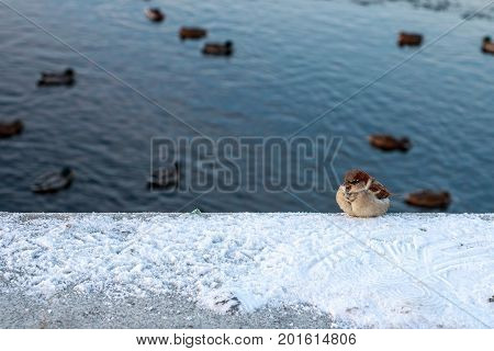 winter Sparrow sitting on a background of floating ducks