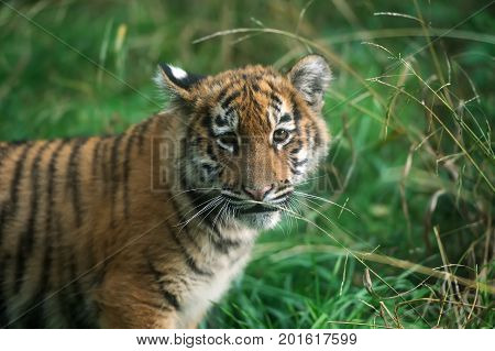 Portrait Of A Tiger Cub